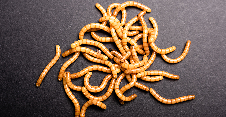 EFSA-approves-yellow-mealworm-01.jpeg